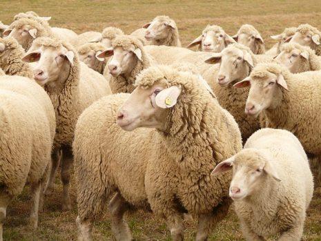 صورة تفسير حلم خروف , ما دلالة رؤية الخروف بالمنام؟