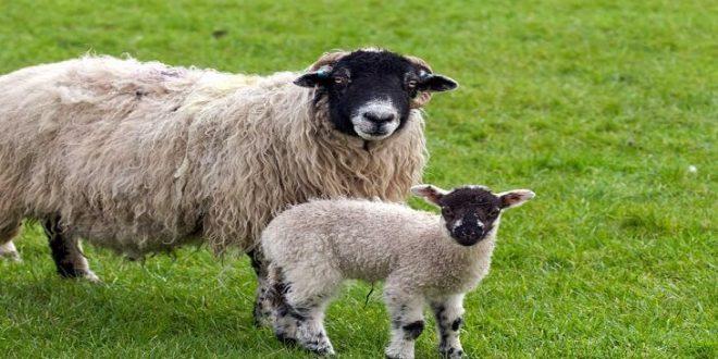 صور تفسير حلم خروف , ما دلالة رؤية الخروف بالمنام؟