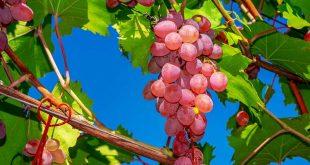 اكل العنب الاحمر في المنام , تفسير رؤية اكل العنب الاحمر في الحلم