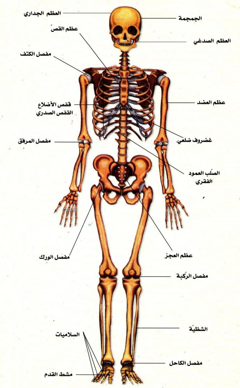 كتاب جسم الانسان pdf