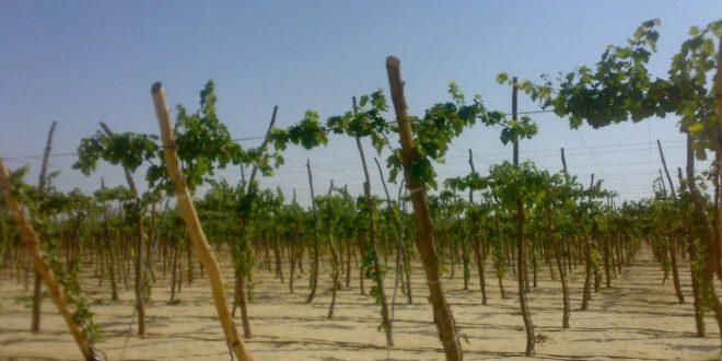 صور كيفية زراعة العنب , زراعة العنب بالخطوات