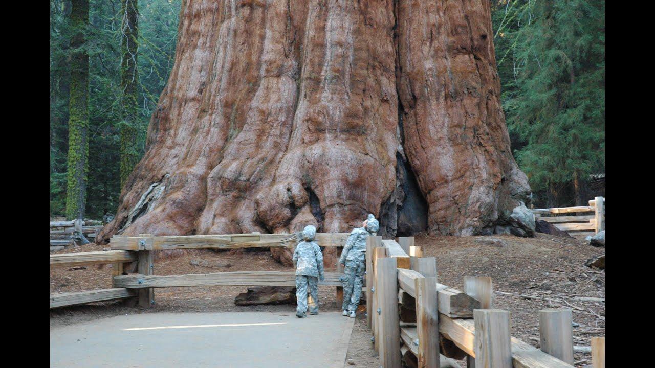 صورة اكبر شجرة في العالم , لن تصدق هذه اكبر شجرة بالعالم