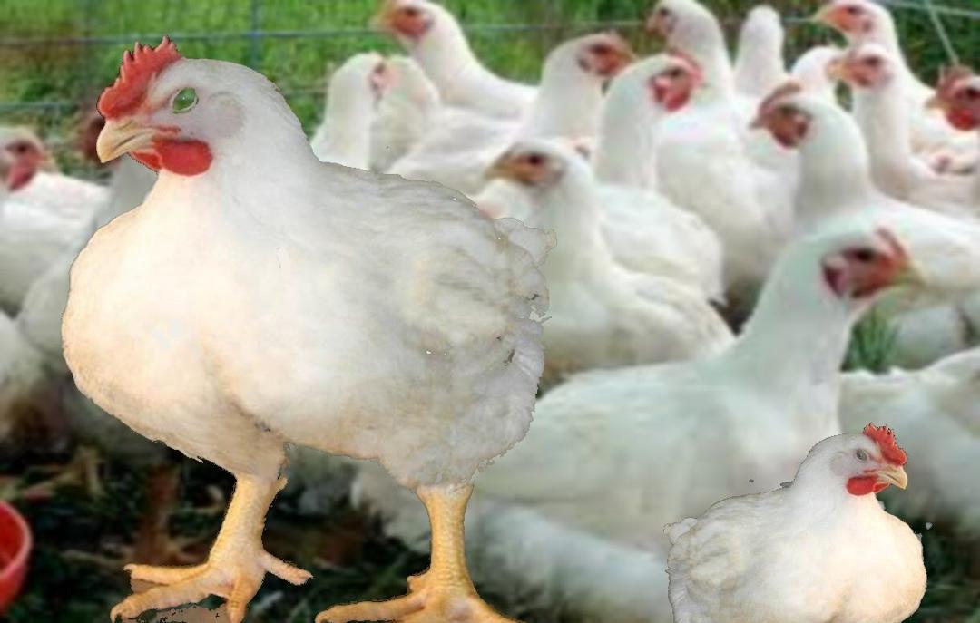 صورة الدجاجة البيضاء في المنام , للرجل والمراة