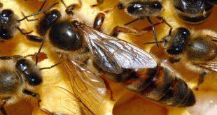 صورة شكل ملكة النحل , الابداع فى خلق الله