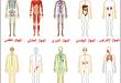 صورة اسماء جسم الانسان , تعرف علي مكونات جسمك