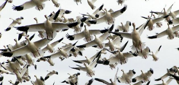 صورة صور طيور مهاجرة , اجمل طيور مهاجره