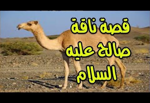 صورة قصة ناقة صالح , انظر ماذا فعل قوم ثمود مع ناقه صالح